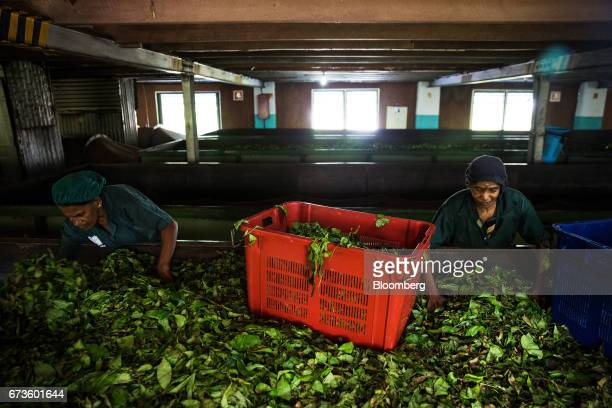 Workers collect partially dehydrated tea leaves from a withering trough at the factory of the Geragama Tea Estate operated by Pussellawa Plantations...