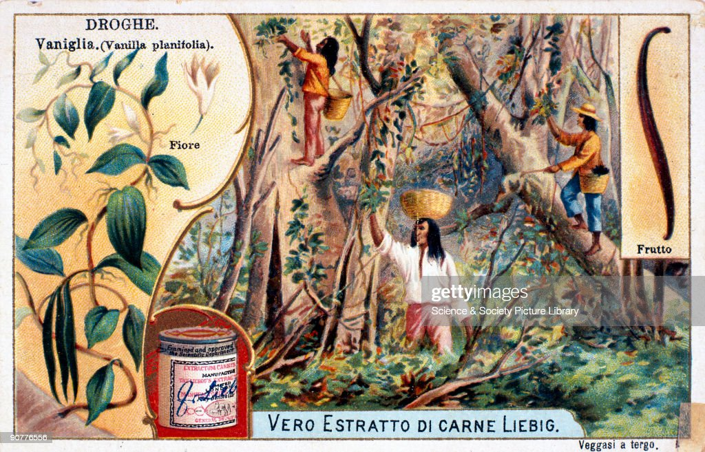 Workers collecting vanilla early 20th century 'Droghe Vaniglia Vanilla planifolia' Workers harvest the plant from trees flanked by illustrations of...