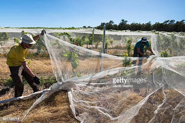 Workers covering grapevines with bird control grape nets