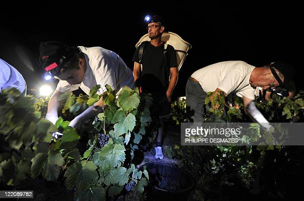 Workers cut grapes during a night harvest early on August 23 2011 in the 'Moulin à Vent' vineyard near Chenas Beaujolais southeastern France...