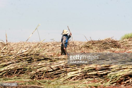 Workers cut sugar cane : Stock Photo