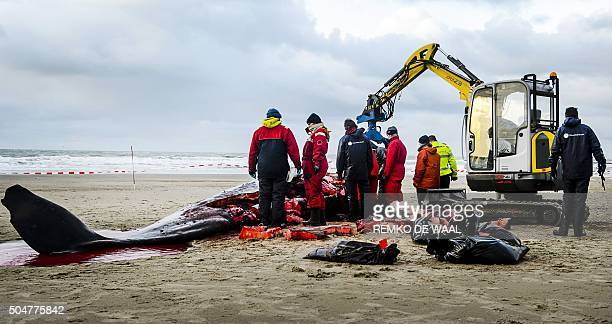 Workers dissect a beached sperm whale on January 13 after it became stranded on the Dutch island of Texel the day before Five sperm whales which...