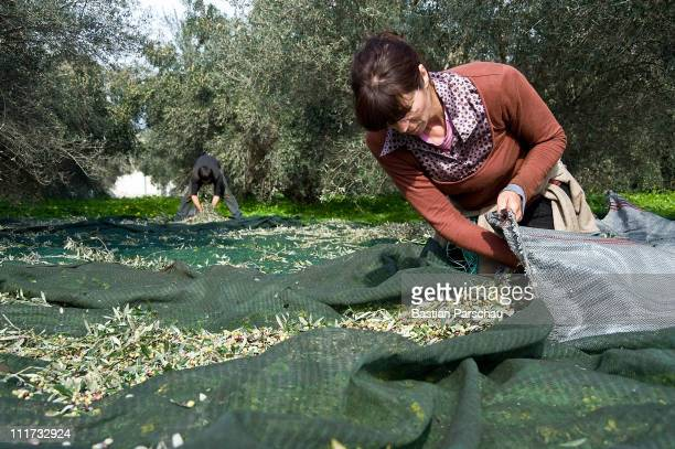 Workers during olive harvest one step before oil mill on January 27 2011 in Heraklion Greece