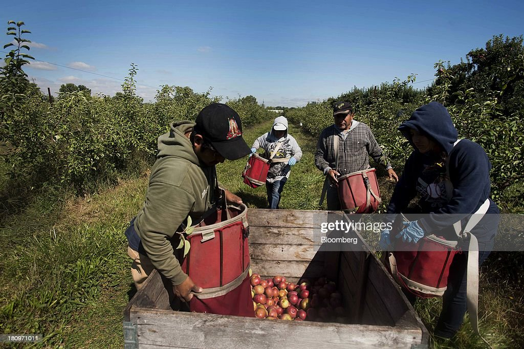 Workers empty their bags of collected apples into crates in the orchard at MacQueen Orchards in Holland, Ohio, U.S., on Tuesday, Sept. 17, 2013. Ohio is one of the top ten apple-producing states in the U.S., which overall has about 7,500 apple producers who grow nearly 100 varieties of apples on approximately 363,000 acres, according to the U.S. Apple Association. Photographer: Ty Wright/Bloomberg via Getty Images