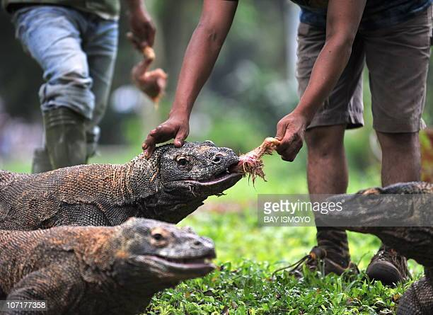 Workers feed komodos at Jakarta Ragunan Zoo on November 28 2010 The komodo dragon is a vulnerable species found on the International Union for...