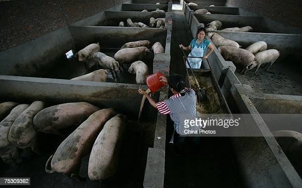 Workers feed pigs in a pig farm on July 10 2007 in Chongqing Municipality China According to the veterinary bureau affiliated to the Ministry of...
