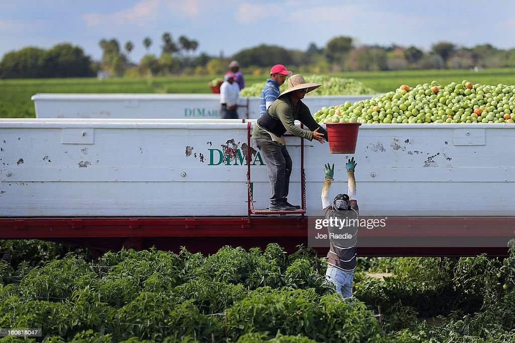 Workers fill a trailer with tomatoes as they harvest them in the fields of DiMare Farms on February 6, 2013 in Florida City, Florida. The United States government and Mexico reached a tentative agreement that would go into effect around March 4th, on cross-border trade in tomatoes, providing help for the Florida growers who said the Mexican tomato growers were dumping their product on the U.S. markets.