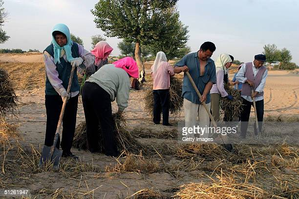 Workers fill holes with straw bundles to prevent sand movement in the Gobi desert September 4 2004 Yinchuan China In order to stop continuous...