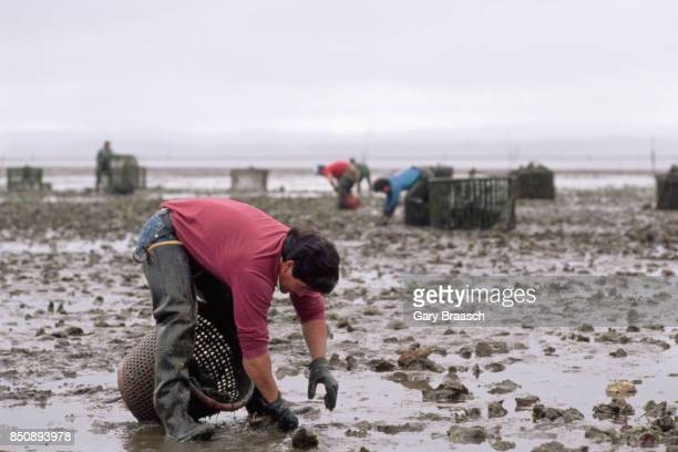 Workers for the Jolly Roger Oyster Company harvest oysters buried in the buddy bottom of Willapa Bay in Washington