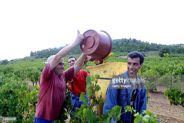 Workers from Italy Spain Morocco and Algeria have converged on this wine making area earlier than usual for the annual harvest August 29 2002 in...