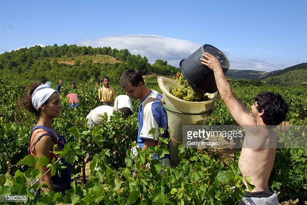 Workers from Italy Spain Morocco and Algeria have converged on this wine making area earlier than usual for the annual grape harvest August 29 2002...