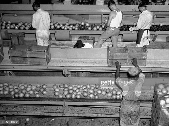 Workers grading and packing citrus fruits in a packing plant Fort Pierce Florida January 1937