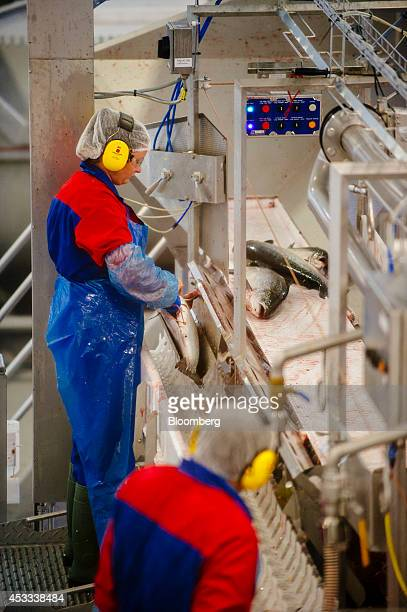 Workers gut recently harvested farmed salmon on conveyor belts at a fish farm operated by Salmar ASA on the island of Froya Norway on Thursday Aug 7...