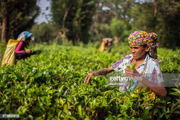 Workers handpick tea leaves at the Geragama Tea Estate operated by Pussellawa Plantations Ltd in Pilimathalawa Central Sri Lanka on Wednesday April...