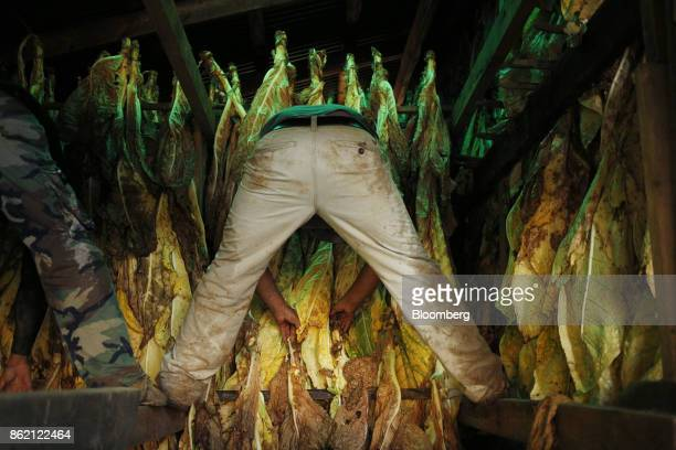 Workers hang burley tobacco leaves after being harvested at Tucker Farms in Shelbyville Kentucky US on Thursday Aug 24 2017 Kentucky crop production...