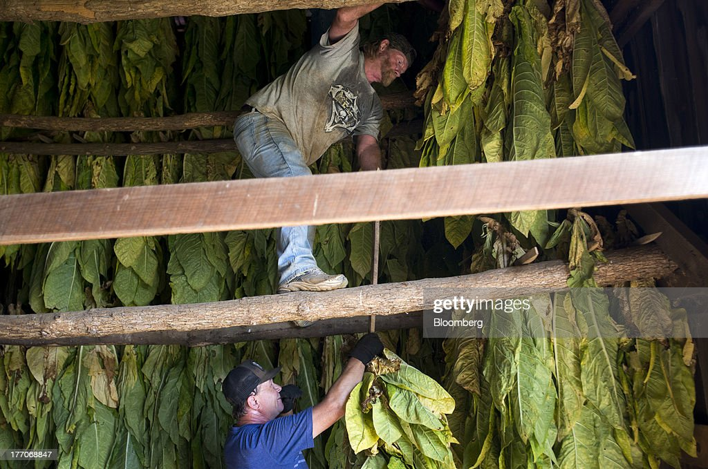Workers hang racks of Burley Tobacco plants to dry in a barn at the Baldwin Farm in Manchester, Ohio, U.S., on Monday, Aug. 19, 2013. Ohio's debt is headed for its worst annual return since 2008 because of a slump in the value of the state's tobacco bonds. Photographer: Ty Wright/Bloomberg via Getty Images