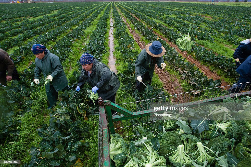 Workers harvest broccoli plants from a field at the Monliz-Produtos Alimentares do Mondego e Liz SA frozen food factory in Alpiarca, Portugal, on Friday, Jan. 18, 2013. Portuguese Prime Minister Pedro Passos Coelho says he does not want Portugal to get a second rescue program. Photographer: Mario Proenca/Bloomberg via Getty Images