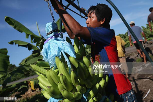 Workers harvest bunches of green bananas on August 2 2013 in Ciudad Hidalgo Chiapas Mexico Bananas from the Santa Cruz plantation in the Mexican...