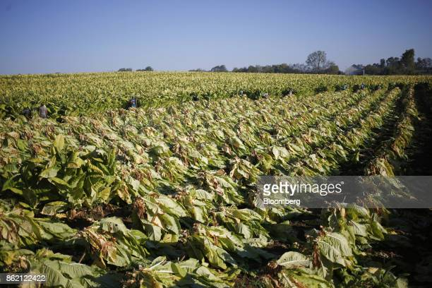 Workers harvest burley tobacco leaves grown by Tucker Farms in Finchville Kentucky US on Tuesday Sept 26 2017 Kentucky crop production is set to...