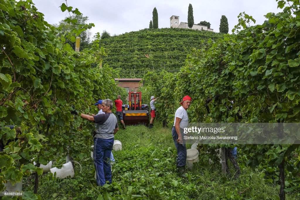 Workers harvest grapes for Prosecco in a vineyard on September 11, 2017 in Treviso, Italy. According to Coldiretti, the Italian agricultural lobby, British buyers drank 40 million liters of Prosecco in 2016 and spent more than 350 million euros on it, representing approximately 30% market growth for the year.