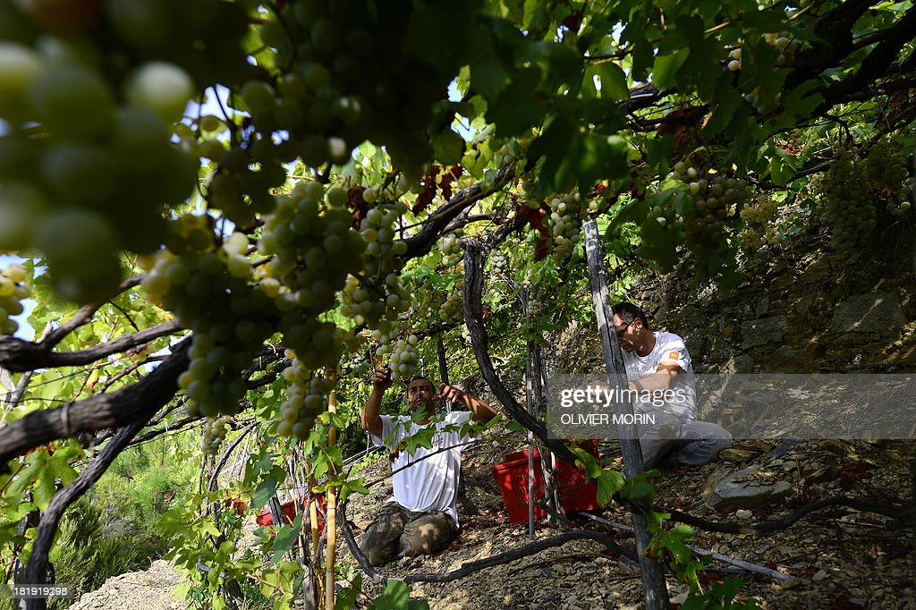 Workers harvest grapes in the village of Manarola in the 'Cinque Terre' area on September 23, 2013. Wine picking is atypical due to the steep land, close to 50 degrees in some areas.
