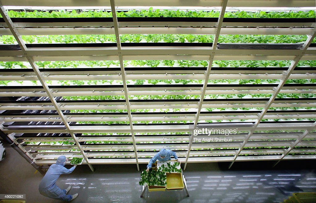 Workers harvest lettuce from 11-story 5-meters shelves at a vegetable factory on June 5, 2014 in Kashiwa, Chiba, Japan. The factory, jointly developped with vegetable factory 'Mirai' and Mitsui Fudosan, is one of the largest in Japan.