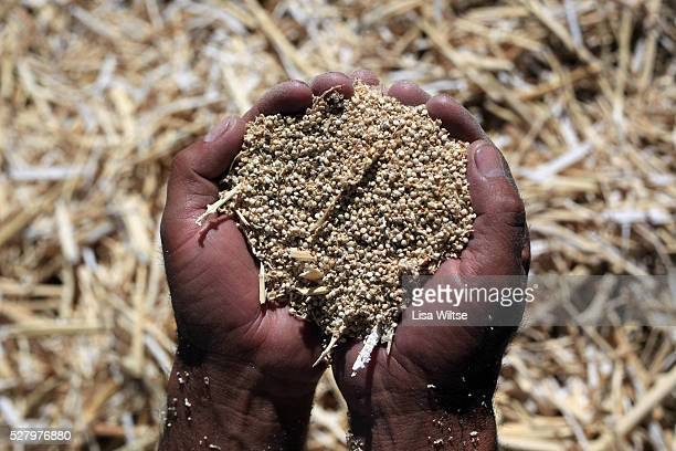 Workers harvest quinoa plants in Challapata Bolivia on Wednesday May 12 2010 Quinoa imports to the US rose from 74 million pounds in 2007 to 186...