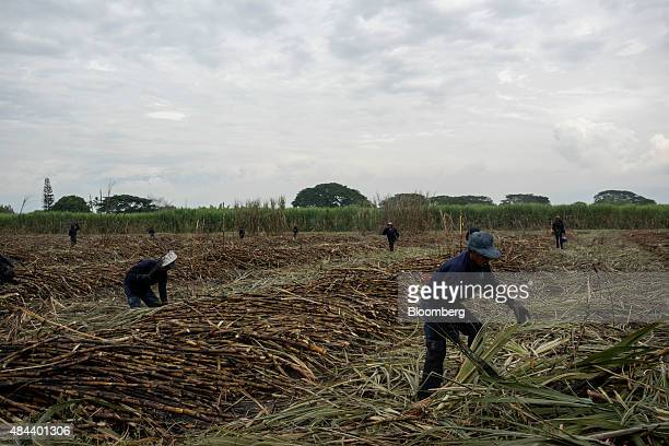 Workers harvest sugarcane at the Ingenio Mayaguez SA sugar plantation in Florida Colombia on Thursday Aug 13 2015 Global sugar prices reached a...