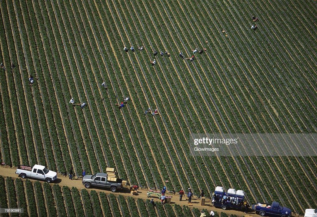 Workers harvesting cauliflower : Foto de stock