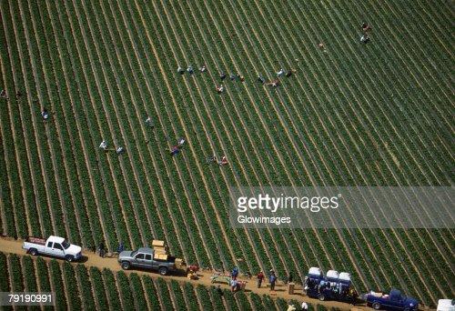 Workers harvesting cauliflower : Stock Photo