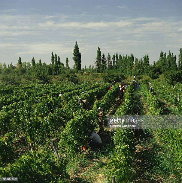 Workers harvesting grapes , Mendoza , Argentina