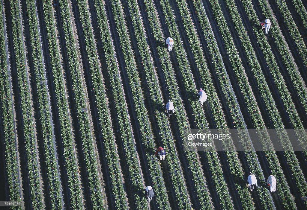 Workers harvesting strawberries, Florida : Stock Photo