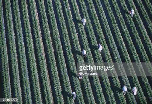 Workers harvesting strawberries, Florida : Stock Photo