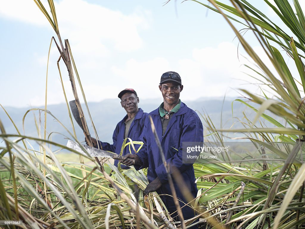 Workers Harvesting Sugar Cane