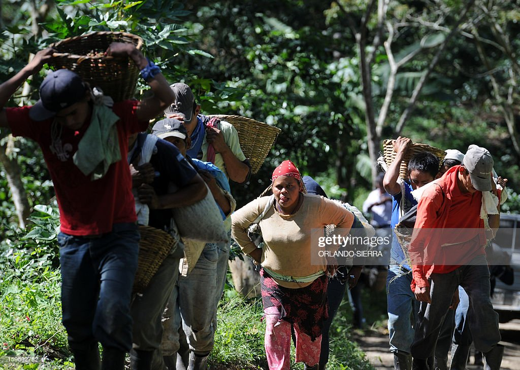 Workers head to collect coffee beans during harvest, in the department El Paraiso, 110 kms east of Tegucigalpa, on Januray 17, 2013. Central America, one of main producers of the best Arabica Coffee, is analyzing to take measures to combat the plague already threatening more than one third of the bean crop, one of the region's major export item. AFP PHOTO/Orlando SIERRA