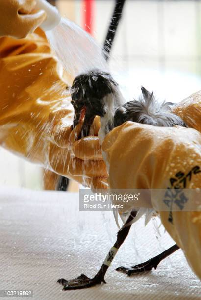 Workers help remove oil from the Deepwater Horizon oil spill on a laughing gull at the Mississippi Wildlife Response Center in Gulfport Mississippi...