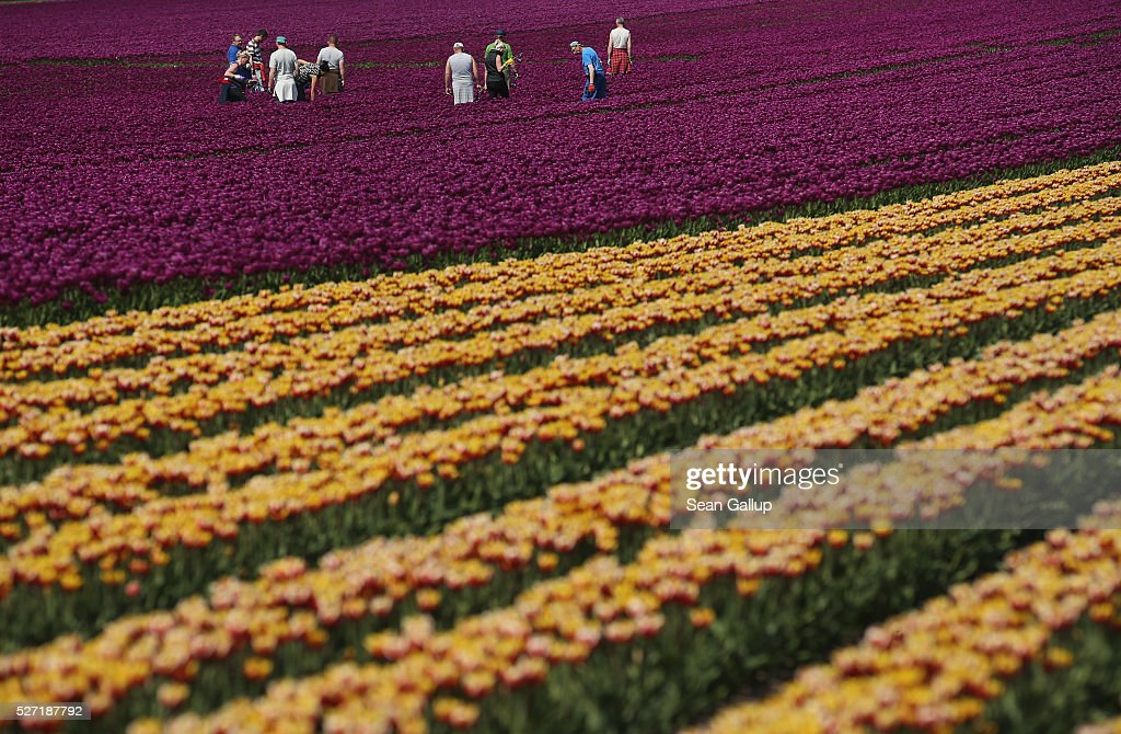 Workers inspect rows of tulips at the Degenhardt-Sellmann Spezialkulturen tulip fields near Magdeburg on May 2, 2016 in Schwaneberg, Germany.The company cultivates up to 10 different strains of tulips on 40 hectares of land to harvest not the flowers but the bulbs.