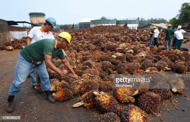 Workers inspect the quality of harvested oil palm fruit outside the processing mill at the Bell Eco Power Sdn palm oil operations in Batu Pahat Johor...