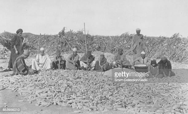 Workers kneel in a field and shell corn on a plantation in the Nile Valley Egypt 1922