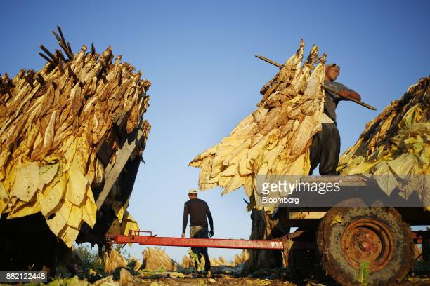 Workers load burley tobacco leaves on to a tractor flatbed after being harvested at Tucker Farms in Shelbyville Kentucky US on Thursday Aug 24 2017...