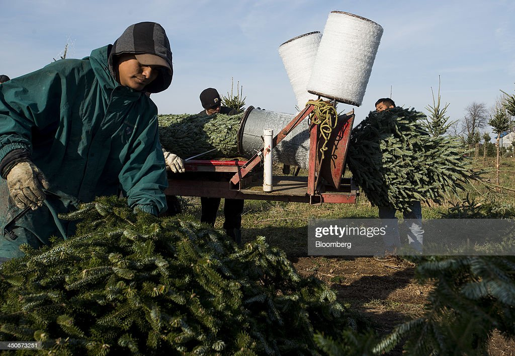 Workers load freshly cut Christmas trees into a trailer that covers them in netting for transport at Mathisen Tree Farms in Greenville, Michigan, U.S., on Thursday, Nov. 14, 2013. With U.S. economic growth trailing the Federal Reserve's projections, shoppers have plenty of reasons to hoard their dollars this holiday season. Photographer: Ty Wright/Bloomberg via Getty Images