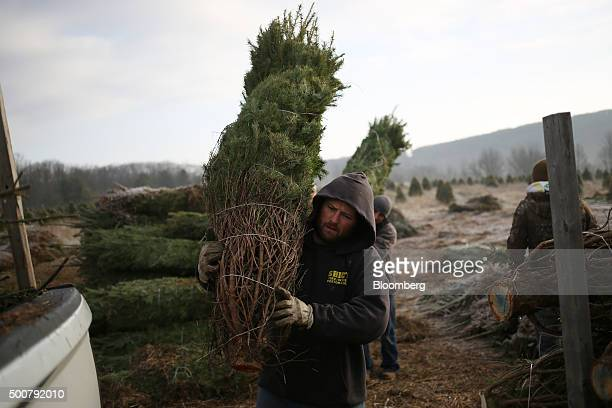 Workers load freshly harvested Douglas Fir Christmas trees into a truck at Brown's Tree Farm in Muncy Pennsylvania US on Tuesday Dec 8 2015 October...