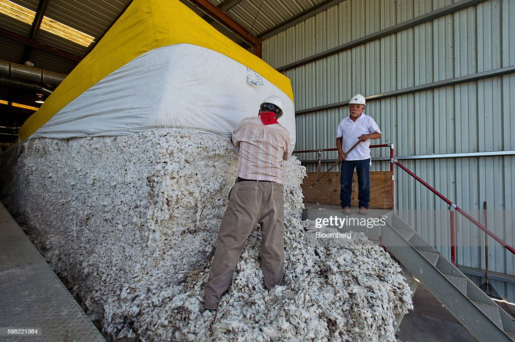 Workers load modules of cotton to be ginned at the Gulf Coast Cooperative gin in the Nueces County of Bishop, Texas, U.S., on Wednesday, Aug. 24, 2016. The United States Department of Agriculture (USDA) estimates US export sales of 18,500 bales for cotton in 2017-2018. Photographer: Eddie Seal/Bloomberg via Getty Images
