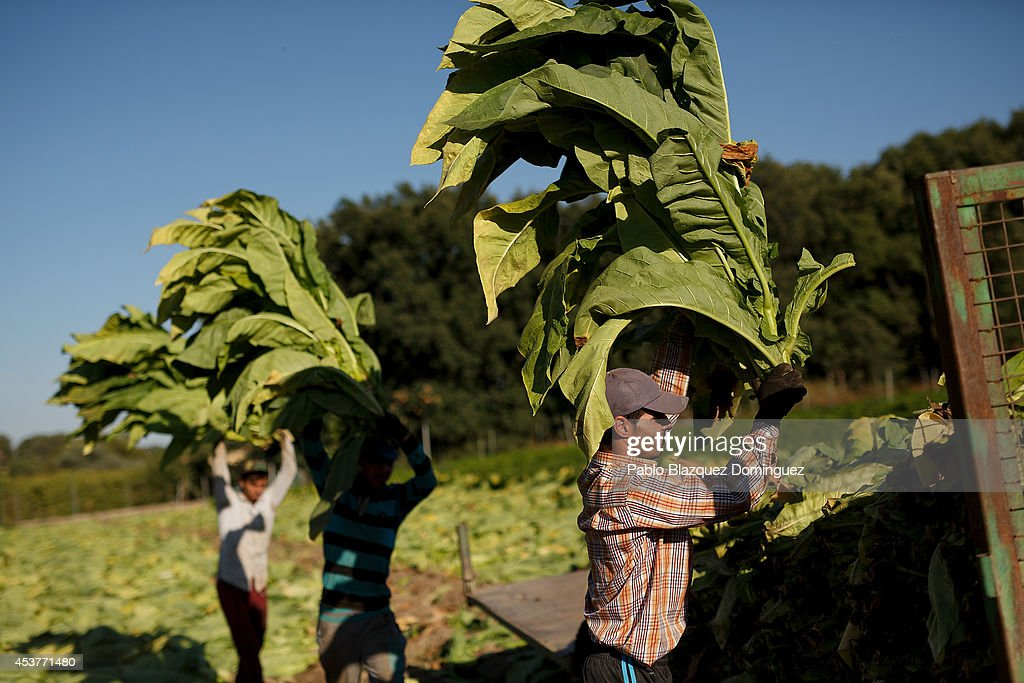 Workers load the trailer of a farm tractor with dark tobacco plants during the tobacco harvest on a farm on August 14, 2014 near Jarandilla de la Vera, in Extreamdura region, Spain. There is one team of workers left who still do the Virginia tobacco harvest manually. Spain is the third biggest producer of tobacco in Europe. Around 90 percent of Spanish tobacco is grown in Extremadura, providing an income to around 20,000 families in the region. In recent years tobacco farming in Extremadura has started to mechanize, becoming more competitive but also leading to the loss of manual labour jobs.