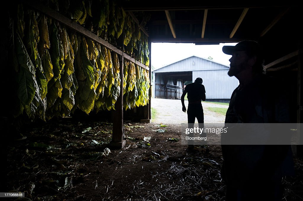 Workers look over racks of Burley Tobacco plants as they hang to dry in a barn at the Baldwin Farm in Manchester, Ohio, U.S., on Monday, Aug. 19, 2013. Ohio's debt is headed for its worst annual return since 2008 because of a slump in the value of the state's tobacco bonds. Photographer: Ty Wright/Bloomberg via Getty Images