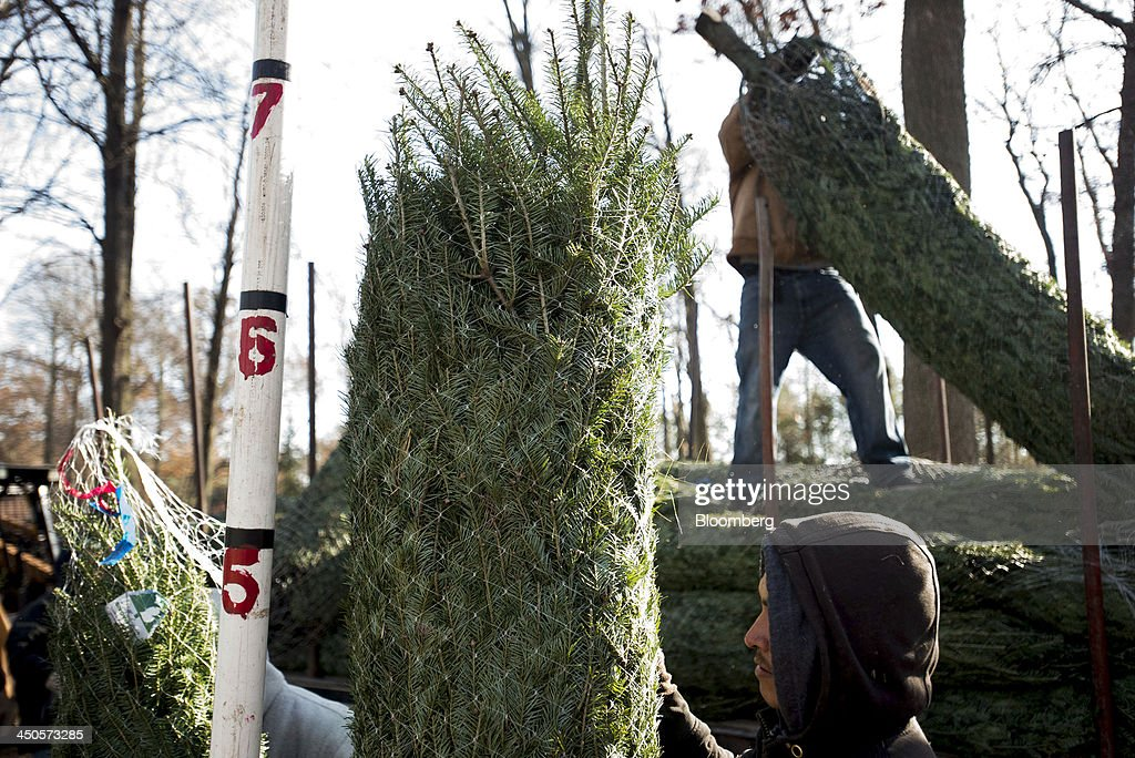 Workers measure the height of harvested Christmas Trees as they stack them into piles at Mathisen Tree Farms in Greenville, Michigan, U.S., on Thursday, Nov. 14, 2013. With U.S. economic growth trailing the Federal Reserve's projections, shoppers have plenty of reasons to hoard their dollars this holiday season. Photographer: Ty Wright/Bloomberg via Getty Images