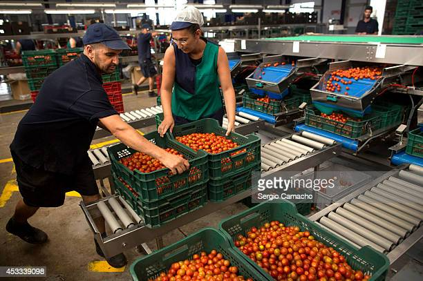 Workers move boxes containing cherry tomatoes in an international vegetable distribution factory on August 8 2014 in Motril Spain Russia have...