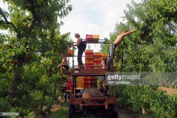 Workers of organic nectarines production pick up nectarines at the field in SaintGenis des Fontaines on July 21 2017 / AFP PHOTO / RAYMOND ROIG