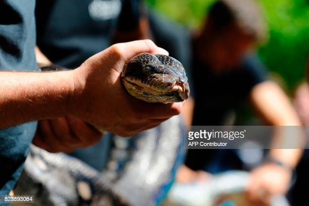 Workers of the Amneville's zoo hold a reticulated female phyton of 7 meters long and weighing 80 kg upon its arrival on July 28 2017 in Amneville The...