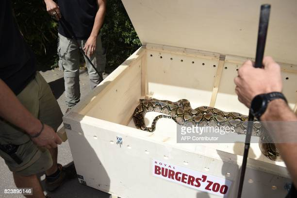 Workers of the Amneville's zoo open a case with a reticulated female phyton of 7 meters long and weighing 80 kg upon its arrival on July 28 2017 in...